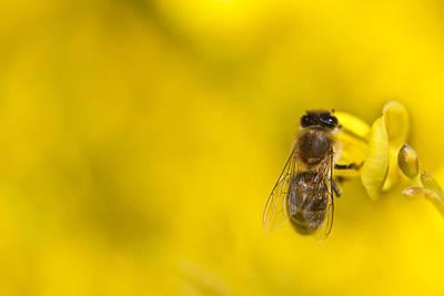 Honeybee Apis Mellifera Original by Gabor Pozsgai