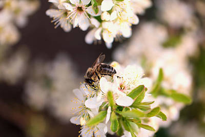 Photograph - Honeybee At Work by Jeff Swan