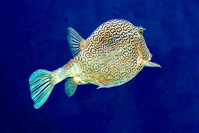 Photograph - Honeycomb Cowfish by Perla Copernik