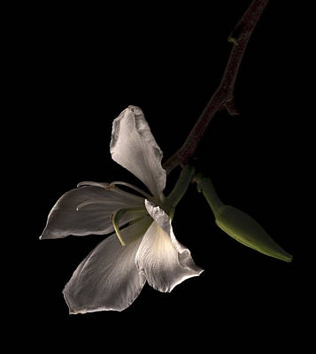 Photograph - Hong Kong Orchid by Lou  Novick