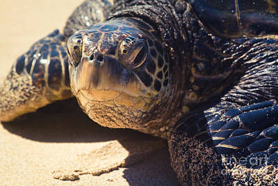 Photograph - Honu by Sharon Mau