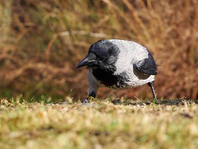 On Trend Breakfast - Hooded crow by Jouko Lehto