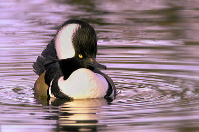 Photograph - Hooded Merganser by Craig Strand