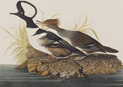 Merganser Wall Art - Painting - Hooded Merganser by John James Audubon