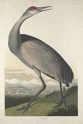 Herons Drawing - Hooping Crane by Dreyer Wildlife Print Collections