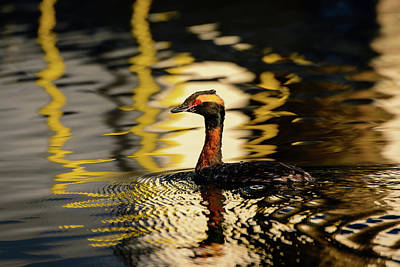 Photograph - Horned Grebe In Breeding Plumage by Michael McAuliffe