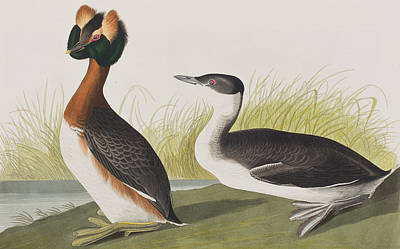 Edge Painting - Horned Grebe by John James Audubon