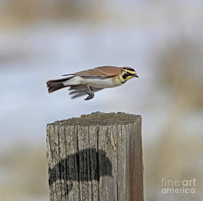 Yellow Photograph - Horned Lark by Gary Wing