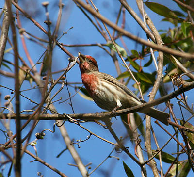 Photograph -  House Finch by Cathy Harper