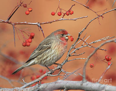 Tree Photograph - House Finch by Gary Wing