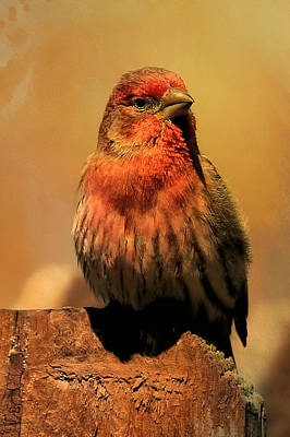 Red Finch Photograph - House Finch  by Theresa Campbell