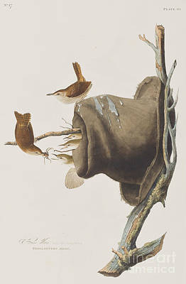Three Chicks Painting - House Wren by John James Audubon