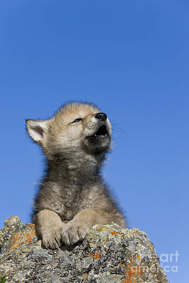 Wolf Pup Photograph - Howling Wolf Cub by Jean-Louis Klein & Marie-Luce Hubert