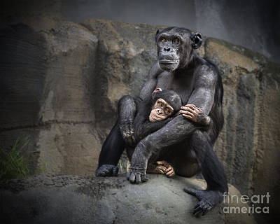 Chimpanzee Photograph - Hugs by Jamie Pham