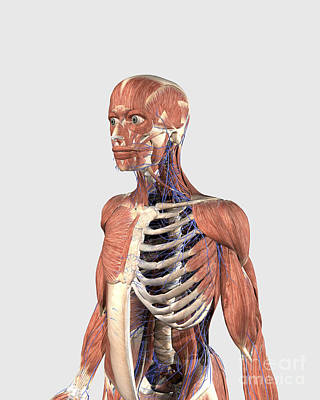 Muscular Digital Art - Human Upper Body Showing Muscle Parts by Stocktrek Images