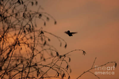 Photograph - Humming Bird Flying Silhouetted by Jim Corwin
