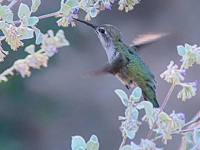 Photograph - Hummingbird 0091 by Tam Ryan