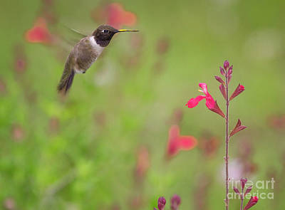 Photograph - Hummingbird And Sage 2 by David Cutts
