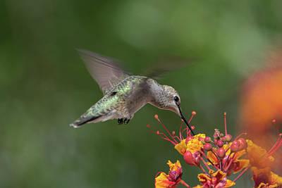 Photograph - Hummingbird At Work by Dan McManus