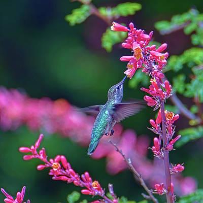 Photograph - Hummingbird by Dan McManus