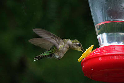 Photograph - Hummingbird Feeding by Kenneth Cole