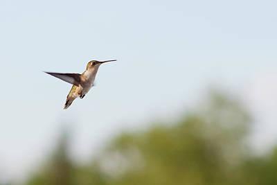 Photograph - Hummingbird In Flight by Jennifer Karon