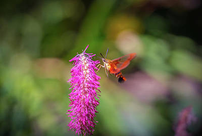 Photograph - Hummingbird Moth by Lilia D