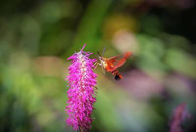 Photograph - Hummingbird Moth by Lilia D