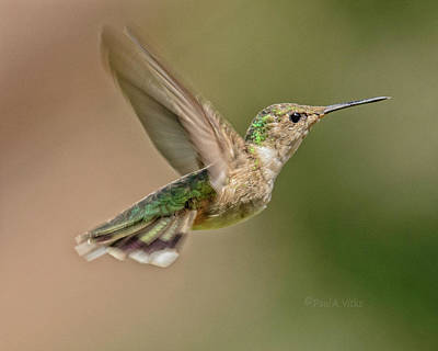 Photograph - Hummingbird_07 by Paul Vitko