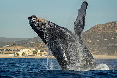 Photograph - Humpback Breach 6 by Frankie Grant