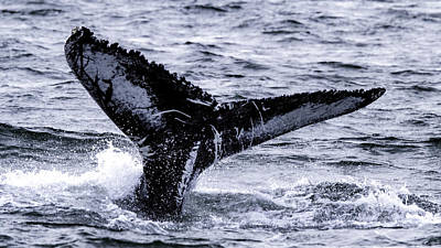 Photograph - Humpback Fluke by Pete Federico