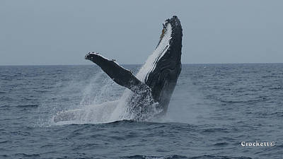 Photograph - Humpback Whale Breaching 8 Image 1 Of 3 by Gary Crockett