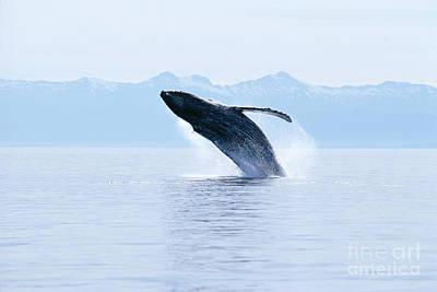 Humpback Whale Breaching Art Print by John Hyde - Printscapes