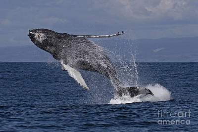 Photograph - Humpback  Whale In A Full Breach, April 10, 2017 Photo By Pat Hathaway by California Views Mr Pat Hathaway Archives