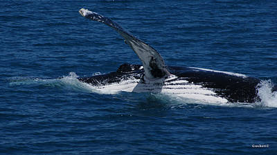 Photograph - Humpback Whale Pec Slapping Image 1 Of 1 by Gary Crockett