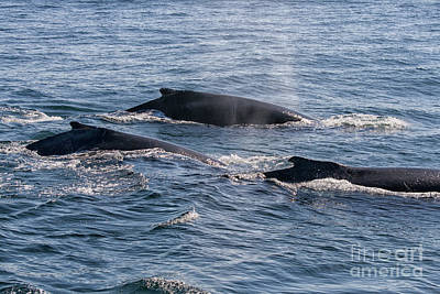 Photograph - Humpback Whales In Ocean by Patricia Hofmeester