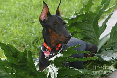 Doberman Photograph - Hundin by Janice Keener