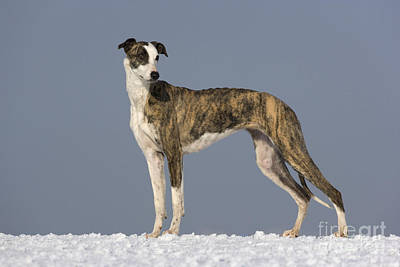 Brindle Photograph - Hungarian Greyhound by Jean-Louis Klein & Marie-Luce Hubert