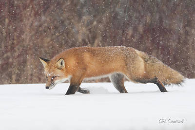 Photograph - Hunting In The Snow by CR Courson