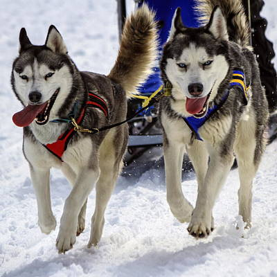 Photograph - Husky Sled Dog Team At Work by Elenarts - Elena Duvernay photo