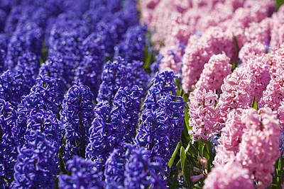 Dutch Hyacinth Photograph - Hyacinths Fields by Andre Goncalves