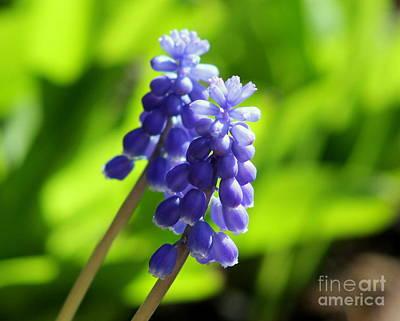 Photograph - Hyacinths by Leone Lund