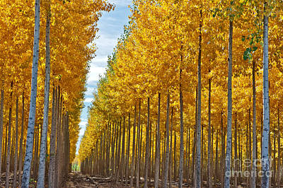 Photograph - Hybrid Poplar Plantation by Inga Spence