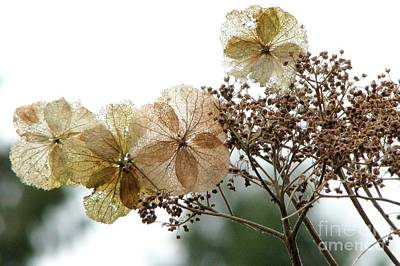Photograph - Hydrangea Bouquet by Frank Townsley