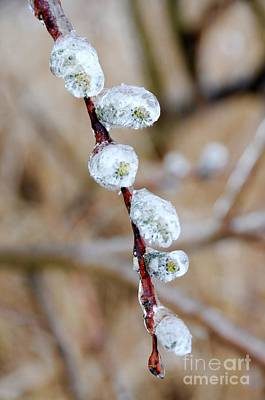 Photograph - Iced Pussy Willows by Sandra Updyke