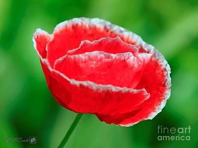Photograph - Iceland Poppy From The Garden Gnome Mix by J McCombie