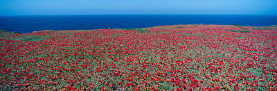 Anacapa Photograph - Iceplant And Coreopsis On Anacapa by Panoramic Images