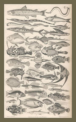 Reef Shark Drawing - Ichthyology by Dreyer Wildlife Print Collections
