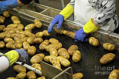 Photograph - Idaho Potatos by Jim West