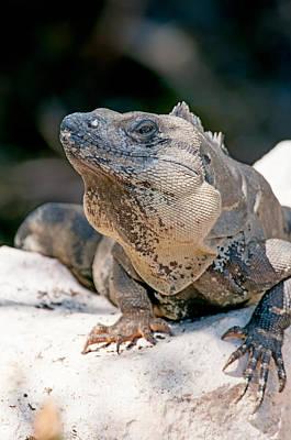 Digital Art - Iguana In Cancun Hotel Zone  by Carol Ailles